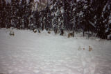 Sled dogs tied out in deep snow.