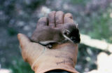 Small weasel sitting in the palm of a gloved hand.