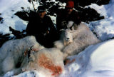 Two men crouch next to several dead mountain goats.