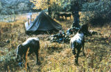 Hunting camp with horses.