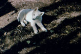 Sled dog puppy on ground in shadows.