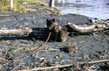 Young sled dog on a chain next to a shore line.