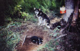 Sled dog sits beside tree with sled dogs puppies among the roots of a tree.