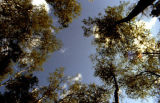 View of treetops, photo taken from ground looking up.