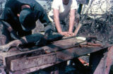 Joe Redington Sr. and man cutting king salmon.