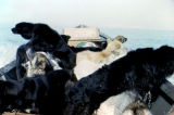 Sled dogs in boat.