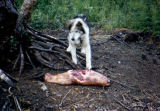 Sled dog with seal for food.
