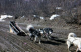 Dog team traveling through spring time mud on Knik Road.