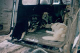 Sled dogs in the back of automobile for Fur Rendezvous sled dog races in Anchorage.