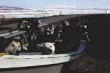 Boat load of sled dogs at the Unalakleet airport.