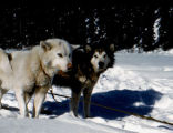 Frosty and Chinook, two of Joe Redington Sr.'s sled dogs.