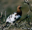 Ptarmigan on branch.