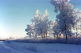 Frost on trees on Knik Road.