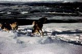 Kobuk leading dog team on Nelchina plane recovery.