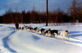 Joe Redington Sr. mushing dog team on trail.
