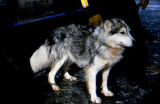 White and gray sled dog chained to a GMC truck.