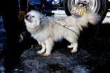 Small white dog chained to a vehicle.