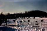 Dogs and mushers preparing to depart on race, possibly 1967 Iditarod Race.