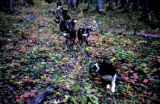 Sled dog team in harness during autumn.