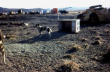 Sled dog yard in Unalakleet.
