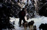 Musher wearing bib #24, mushes dog team through the woods, possibly on the Fur Rendezvous sled dog...
