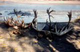 Antlers and horns on the beach, including moose, caribou, and dall sheep.