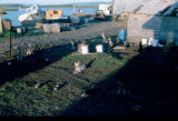 Joe Redington Sr.'s dog lot in Unalakleet.