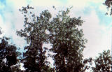 Treetop, may be birch tree.
