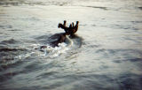 Bull moose swimming.