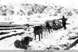 Sled dogs hauling logs in winter.