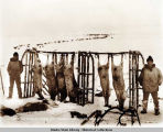 Cape Prince of Wales Eskimo with reindeer killed for the Nome market.