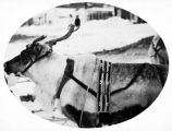 Winner of the reindeer race, Deering, Dec. 25, 1928.