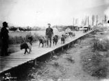 Dogs packing goods to the mines, 1898.