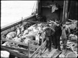 Caribou or reindeer, corralled onboard ship.