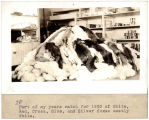 Fox pelts, Barrow, 1930.