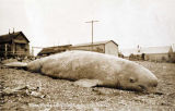 Beluga whale on beach at Nome, 1910.
