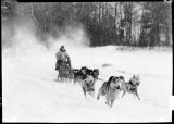 Sled dogs at a run.