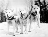 Three matched sled dogs.