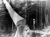Ketchikan Pulp Co., felling a large Sitka spruce, Hollis, Alaska, August 13, 1957.