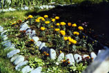 [Flower bed with yellow flowers and rock along edges - Mrs. Martusheva's yard.]