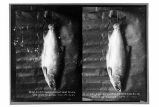 22 ½ # silver salmon caught Lost River Yakutat Alaska Sept 27, 1921.