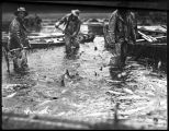 Yakutat, Alaska. [Men in knee deep water gaffing fish.]