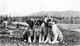 [4 pups - mountain behind.]