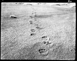 BEAR TRACKS ON THE BEACH.