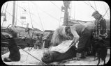 [Butchering a walrus aboard the deck of a sailing ship.]