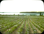 Olaf Wagner's farm at Wasilla with potatoes in bloom.