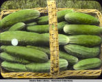 Basket of cucumbers.  Rickard Ranch, Fairbanks.