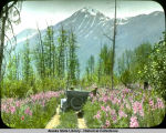 Richardson Highway. Views near Tikal [Tiekel?] red flowers (fireweed) and mts.