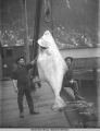 300 lb. Halibut. Juneau, Alaska. Dec. 20, 1910.