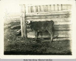 Calf chained to fence; spiked guard on mouth.